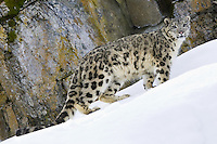Snow Leopard standing along a steep, snowy incline in front of a rocky ledge - CA