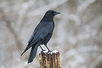 Rabenkrähe im Winter bei Schnee, Schneefall, Aaskrähe, Raben-Krähe, Aas-Krähe, Krähe, Krähen, Corvus corone corone, Corvus corone, carrion crow, crow, crows, La Corneille noire