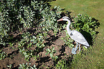 Plastic heron used as scarecrow on vegetable plot