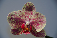Orchid, Vero Beach, Florida, US