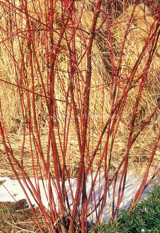 Winter: Cornus alba 'Argento-Marginata'  Elegantissima. Variegatd Tartarian dogwood