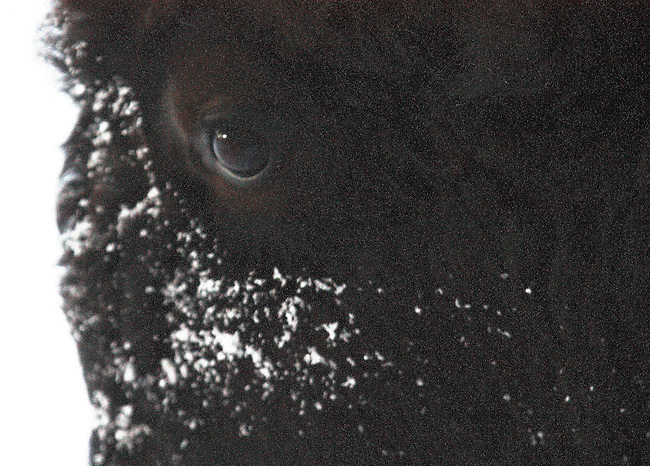 An eye of a bison during winter at Yellowstone National Park,Wyoming.