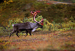 A caribou walks through the autumn tundra brush in Denali National Park, Alaska.