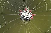 Spiny-backed Orbweaver - Gasteracantha elipsoides cancriformis