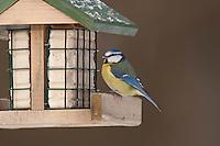 Blaumeise, an der Vogelfütterung, Fütterung im Winter bei Schnee, an Häuschen mit Fettfutter, Energiekuchen, Winterfütterung, Blau-Meise, Meise, Cyanistes caeruleus, Parus caeruleus, blue tit