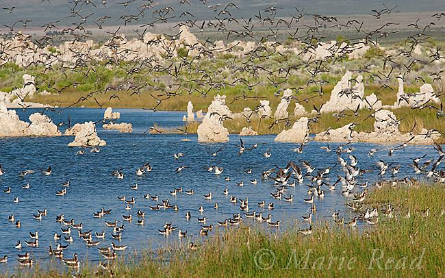 Wilson's Phalaropes (Phalaropus tricolor), flock swimming/landing near the shoreline, Mono Lake, California, USA