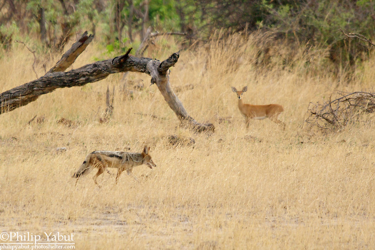 Steenbok (Raphicerus campestris) and black-backed jackal (Canis mesomelas) at Hwange National Park, Zimbabwe