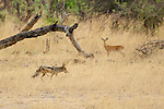 Steenbok (Raphicerus campestris) and black-backed jackal (Canis mesomelas) at Hwange National Park, Zimbabwe