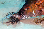 Pterois volitans, Red Lionfish, Grand Cayman