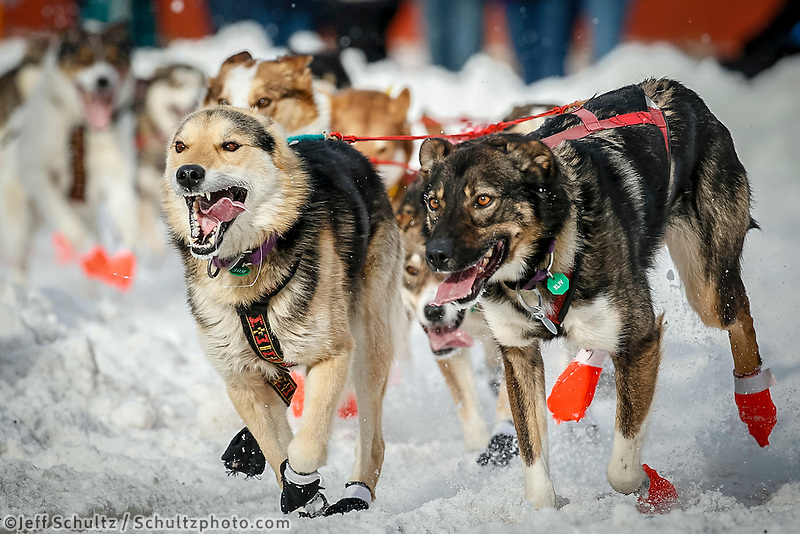 Michelle Phillips' lead dogs run down 4th avenue during Ceremonial Start of the 2016 Iditarod in Anchorage, Alaska.  March 05, 2016
