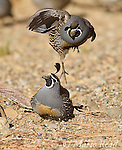 California Quail (Callipepla californica), two males during aggressive encounter, Mono Lake Basin, California, USA