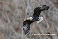 00807-03707 Bald Eagle (Haliaeetus lecocephalus) in flight Clinton Co. IL
