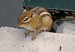 Curious Chipmunk checking me out while I sat eating a snack.  Triggered the tripod mounted camera remotely.  Location was a Treehaven Camp near Tomahawk , in northern Wisconsin.