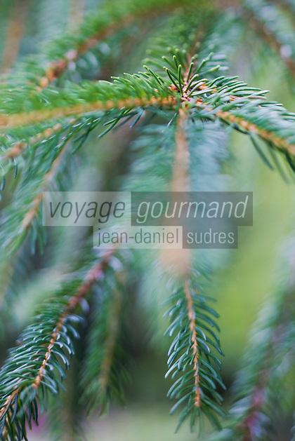 Europe/France/Auverne/63/Puy-de-Dôme/Parc Naturel Régional des Volcans/Env Le Mont-Dore: Le Lac de Guéry  1244m _ Détail branche résineux