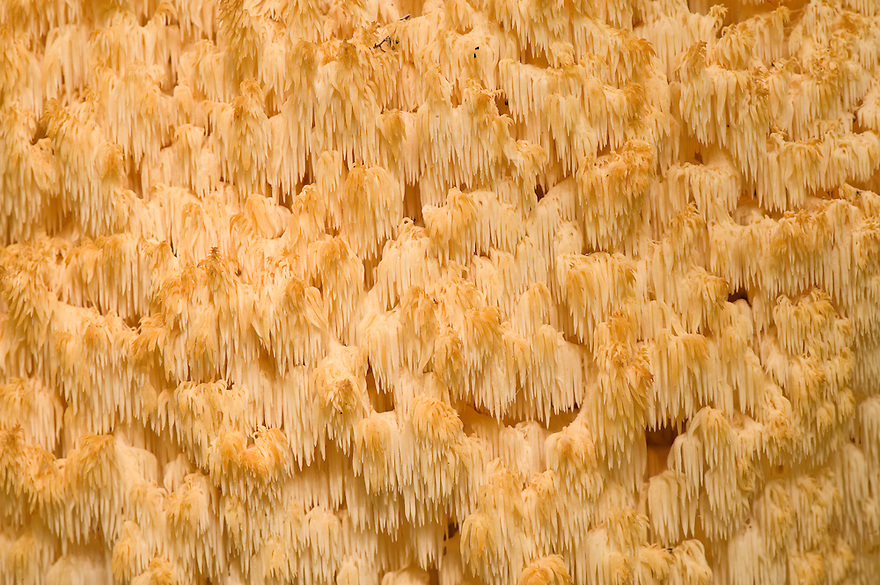 Hedgehog fungus, Hericium erinaceus, gills (detail), Plitvice National Park, Croatia