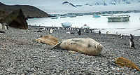Weddell seal (Leptonychotes weddellii) on the shore in Antarctica
