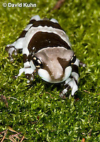 0305-0919  Froglet, Amazon Milk Frog (Marbled Tree Frog), Trachycephalus resinifictrix (formerly: Phrynohyas resinifictrix)  © David Kuhn/Dwight Kuhn Photography