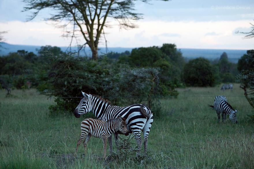 Zebras at the Ol Pejeta Conservancy Laikipia, Kenya on January 18, 2010. Photo credit: Benedicte Desrus