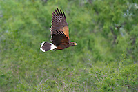 541950104 a wild harris hawk parabuteo unicinctus in flight clara ranch starr county texas