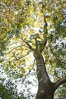 Bay tree (Umbellularia californica) aka California Laurel, Oregon Myrtle, Pepperwood in woodland habit