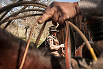Dell'Orto outfit branding, doctoring and marking cattle during a clear day in the Sierra Nevada Foothills, Amador County, Calif.