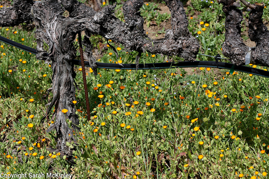 A grape vine at Robert Mondavi Vineyard in Oakville in Napa County in Northern California.