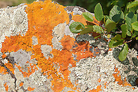 Orange lichens cling to the Lake Superior shoreline of Isle Royale National Park.