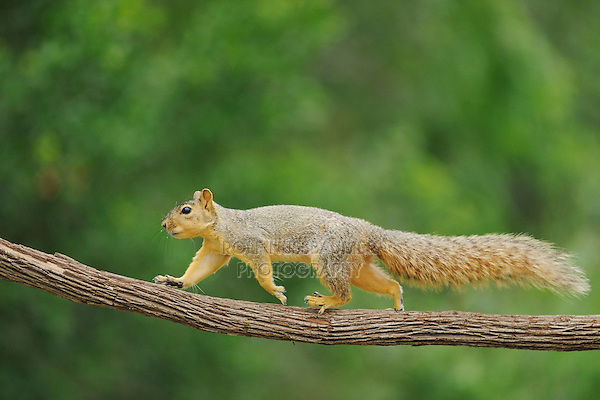 Eastern Fox Squirrel (Sciurus niger), adult walking, Fennessey Ranch, Refugio, Coastal Bend, Texas Coast, USA