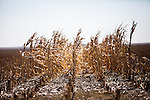 Dry corn sits in a field on Mitchell Baalman's 12,000-acre farm outside of Hoxie, Kan., on Thursday, Oct. 11, 2012. As historically dry conditions continue, farmers from South Dakota to the Texas panhandle rely on the Ogallala Aquifer, the largest underground aquifer in the United States, to irrigate crops. After decades of use, the falling water level ? accelerated by historic drought conditions over the last two years ? is putting pressure on farmers to ease usage or risk becoming the last generation to grow crops on the land. Farmers like Mitchell Baalman and Brett Oelke (both not pictured), are part of a farming community in in Sheridan County, Kansas, an agricultural hub in western Kansas, who have agreed to cut back on water use for crop irrigation so that their children and future generations can continue to farm and sustain themselves on the High Plains.