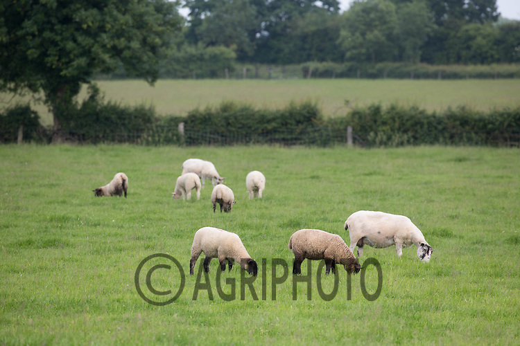 Ewes and lambs grazing<br /> &copy;Tim Scrivener Photographer 07850 303986<br /> ....Covering Agriculture In The UK....