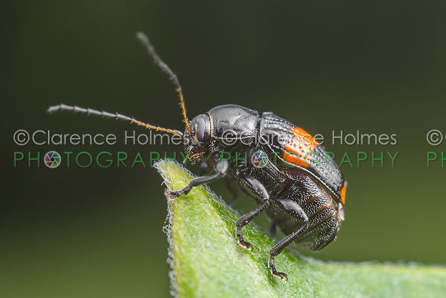 A Case-bearing Leaf Beetle (Bassareus mammifer) stands at the end of a milkweed plant leaf.