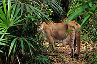 Mountain Lion or cougar (Felis concolor) in Central America.