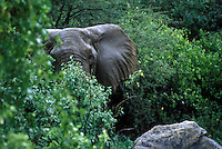 An old bull ELEPHANT (Loxodanta Africana) can live to be 70 years old and weigh as much as 13,200 Lb - LAKE MANYARA NP