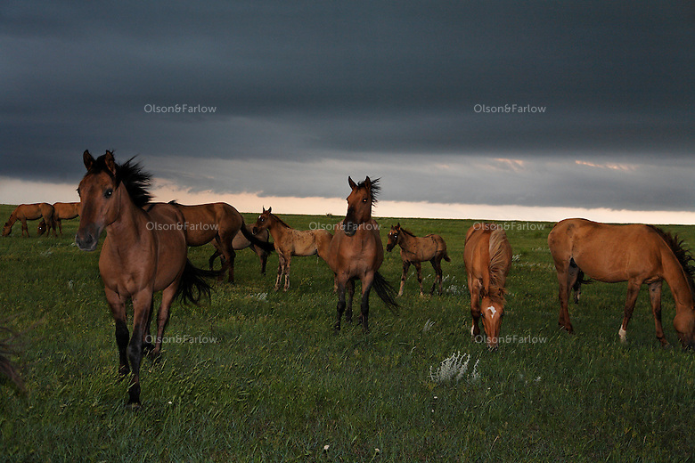 Winds blow in a summer storm as dark clouds loom over the Gila herd in South Dakota.  <br /> DNA of this herd traces back to Spanish origin.  The mustangs were rescued by Karen Sussman and the International Society for the Protection of Mustangs and Burros.<br /> The Gila herd is of Spanish origin and came to North America with the Conquistadors.  They were rescued by Karen Sussman and the International Society for the Protection of Mustangs and Burros.