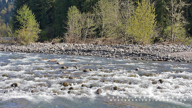 The river pours past a cobble bar, recently colonized by cottonwood and red alder trees.