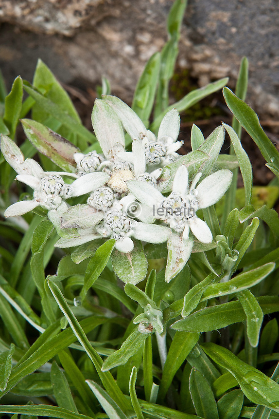 Jardin alpin du lautaret : Edelweiss de Strachey.(Leontopodium stracheyi). Origine : Tibet, Himalaya // Leontopodium stracheyi, Strachey's edelweiss