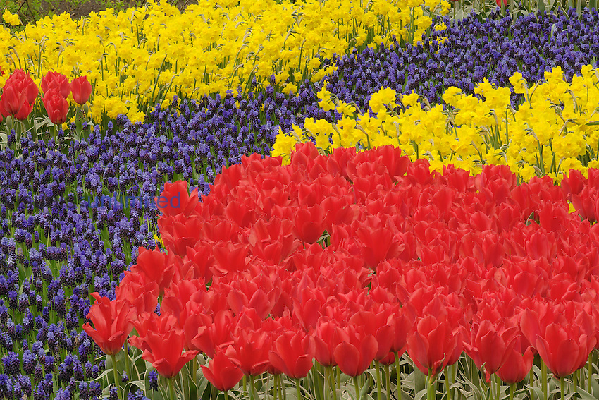 Tulips, Grape Hyacinth, and daffodil flowers, Keukenhof Garden, Lisse, Netherlands, Holland