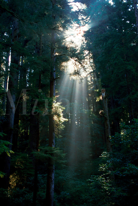 Sun filters througha redwood forest. Redwood National Park.