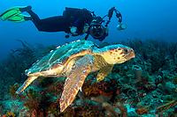 a diver shoots picuters of a Loggerhead Sea Turtle Caretta caretta off Juno Ledge Palm Beach Florida Atlantic Ocean (MR)