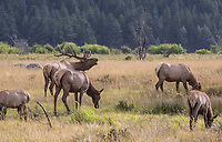 A Bull Elk amongst females during the rut at Rocky Mountain National Park, Colorado.