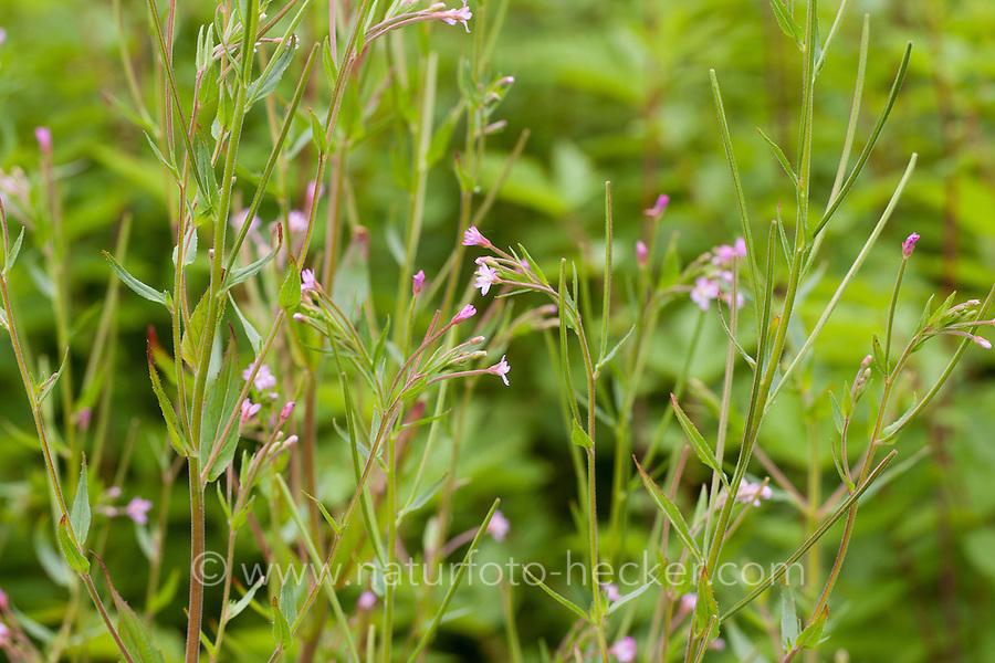 Kleinblütiges Weidenröschen, Epilobium parviflorum, Smallflower Hairy Willowherb