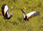 Crested Cranes - Uganda