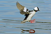 Bufflehead duck drake (Bucephala albeola) preparing to land on lake.  Pacific Northwest..