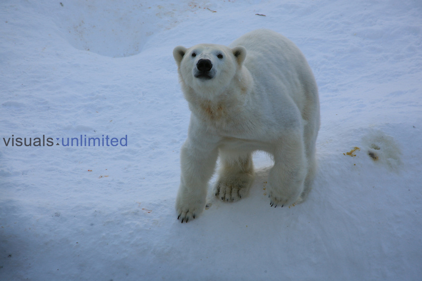 Polar Bear (Ursus maritimus) Ranua Wildlife Park.