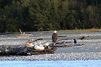 Alaska Cruise 2011 Haines Eagle Preserve and Talkeetna River Tours