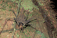 Tailless whip-scorpion; Amblypigidae; eating cricket;