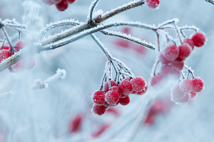Guelder Rose, Viburnum opulus, fruit with hoar frost in traditional hay meadow. Clattinger Farm, Wiltshire, UK.