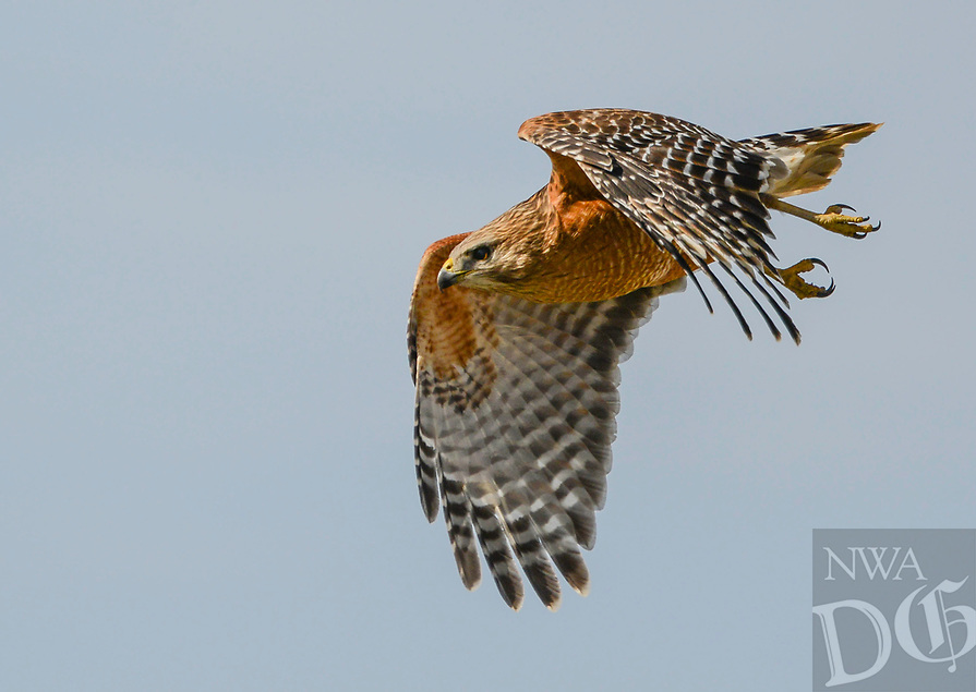 Courtesy photo/DAVID OAKLEY<br /> GRACEFUL FORM<br /> A red-shouldered hawk shows its talons in flight. David Oakley of Springdale took the picture on March 16.