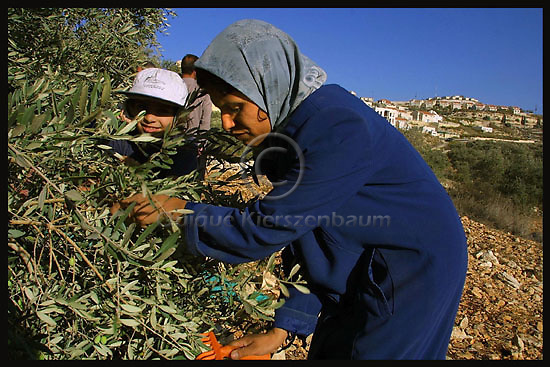 A Palestinian woman picks olives close to the limit between the Palestinian Village of Kufur Qadddum and the Jewish settlement of Qedumim.  More than 221,000 trees were uprooted between September 2000 and February 2003, the UN reports. In 2002 alone, it recorded 190 incidents of settler violence in the West Bank and Gaza Strip. Photo by Quique Kierszenbaum