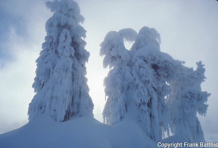 ghost trees at West Thumb Geyser Basin